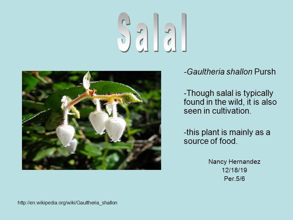 Salal -Gaultheria shallon Pursh