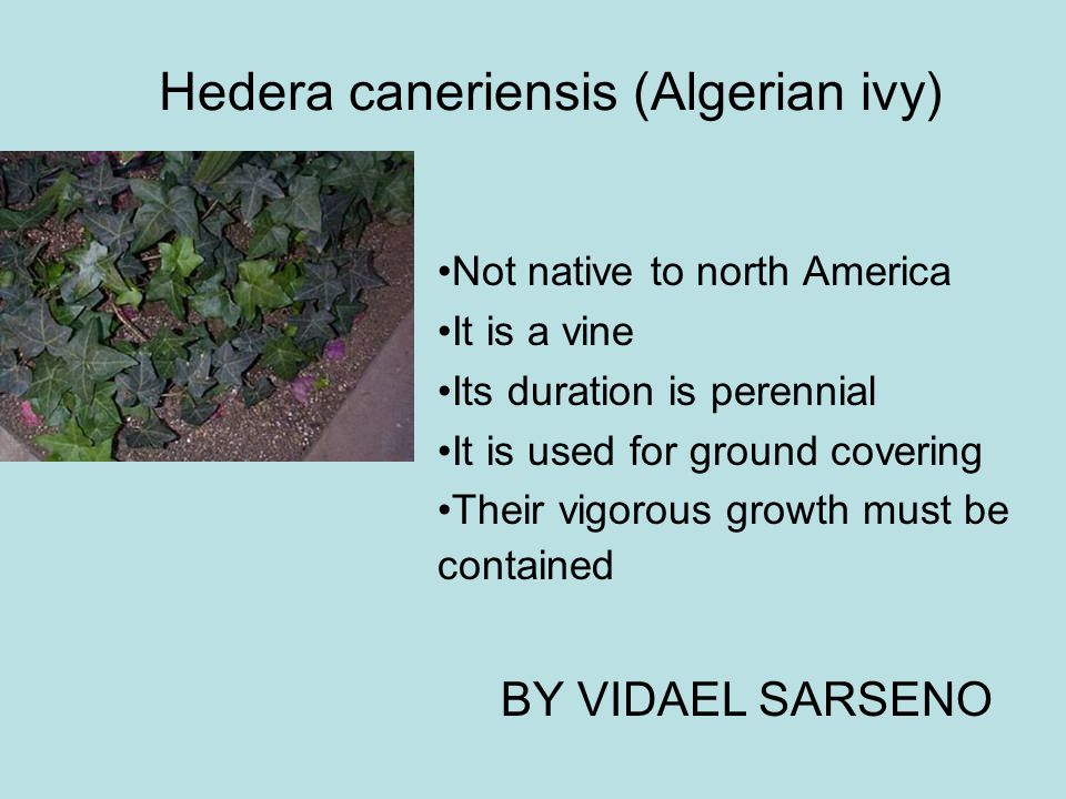 Hedera caneriensis (Algerian ivy)