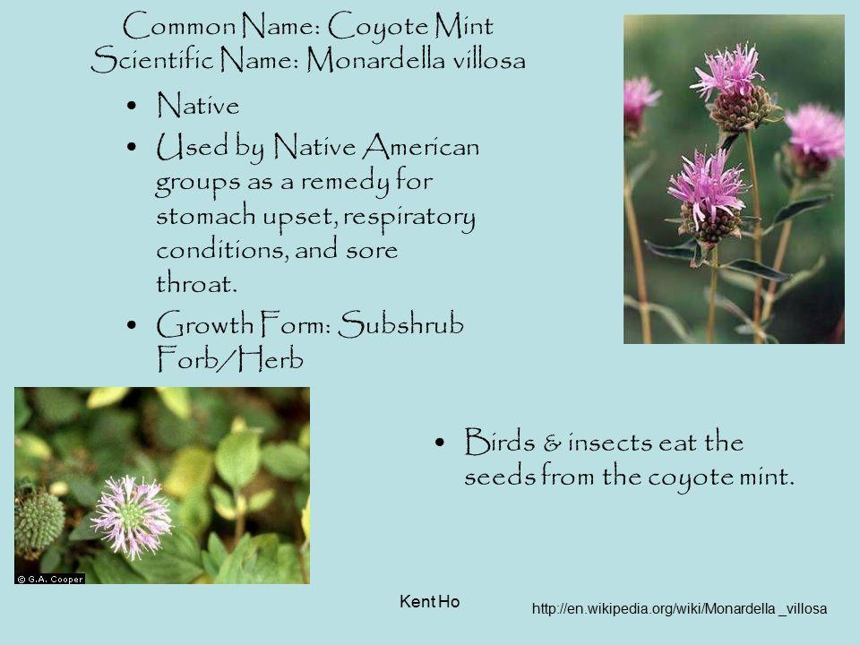 Common Name: Coyote Mint Scientific Name: Monardella villosa