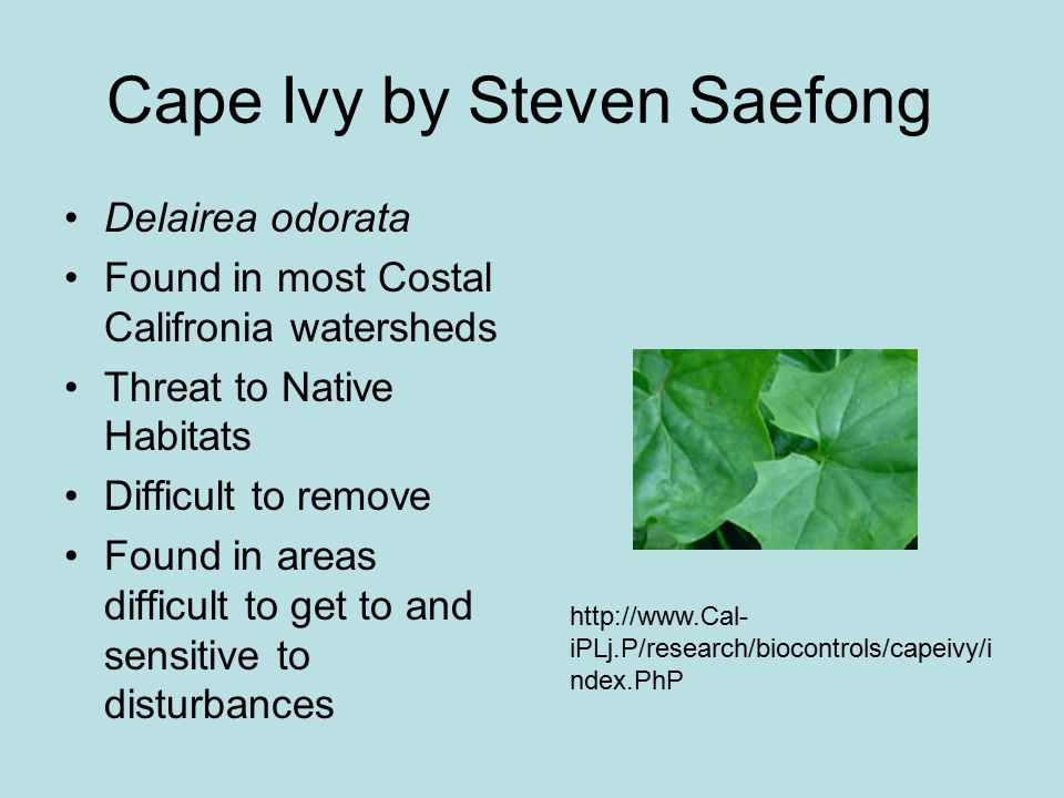 Cape Ivy by Steven Saefong