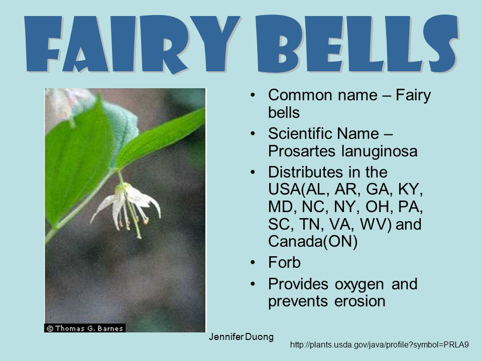 Fairy Bells Common name – Fairy bells