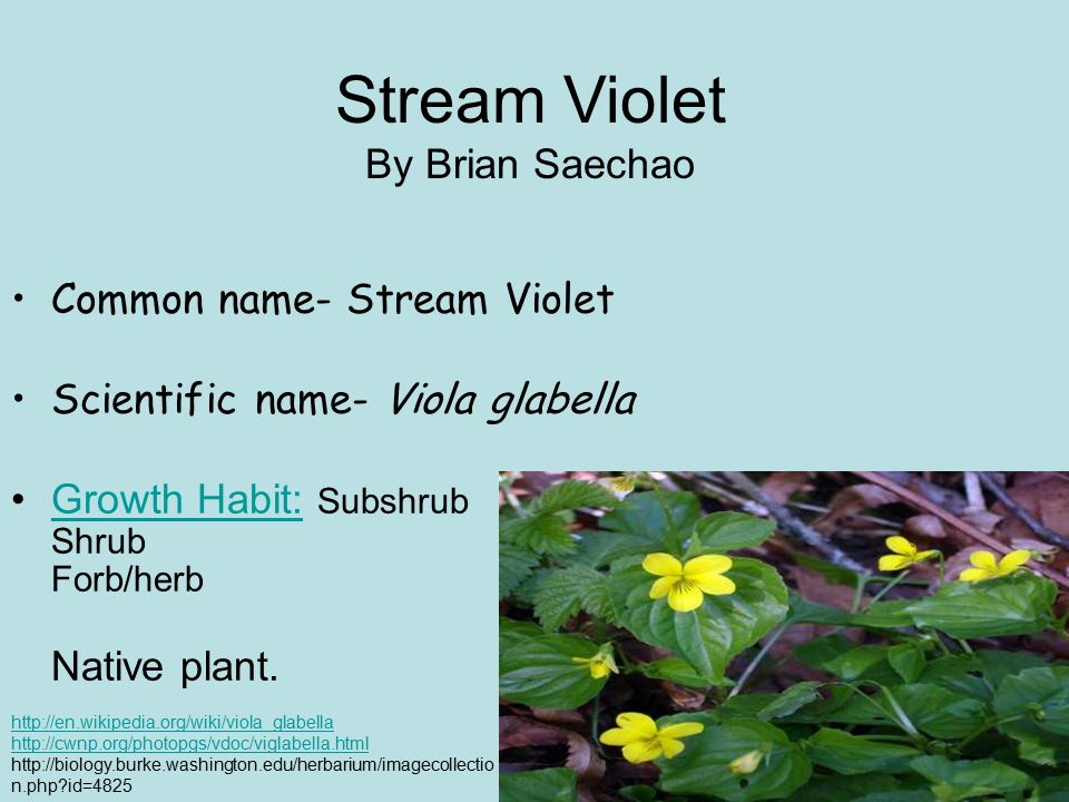 Stream Violet By Brian Saechao Common name- Stream Violet