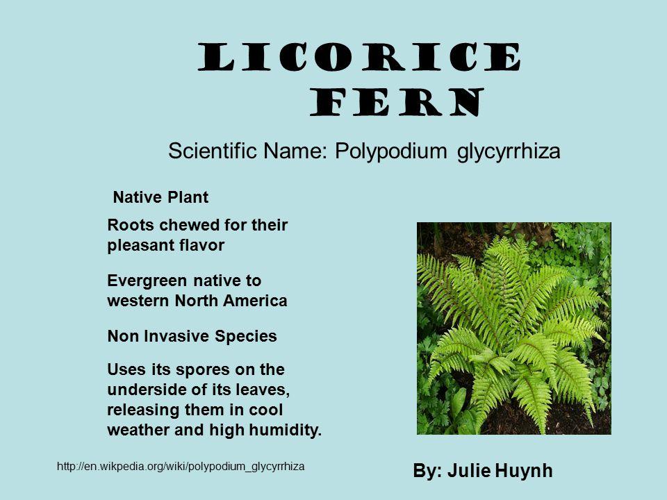 Scientific Name: Polypodium glycyrrhiza