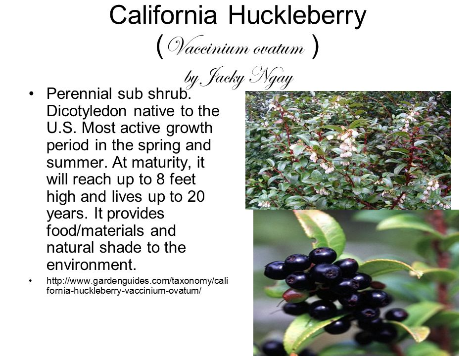 California Huckleberry (Vaccinium ovatum ) by Jacky Ngay