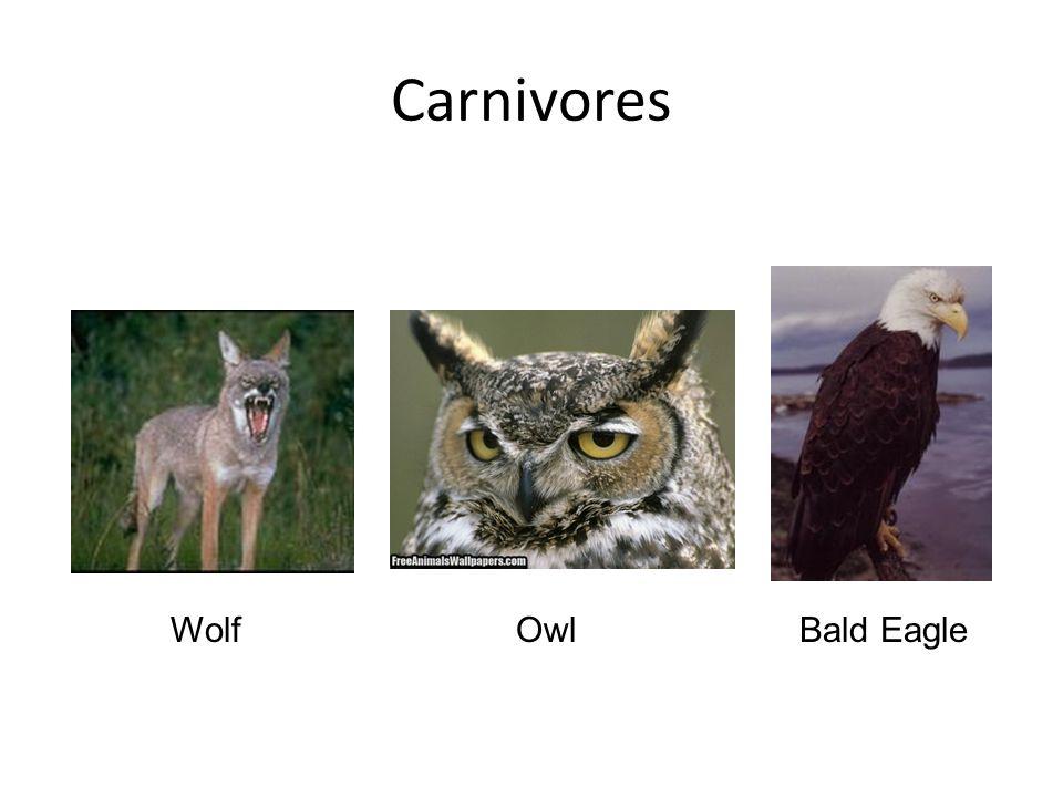 Carnivores Wolf Owl Bald Eagle