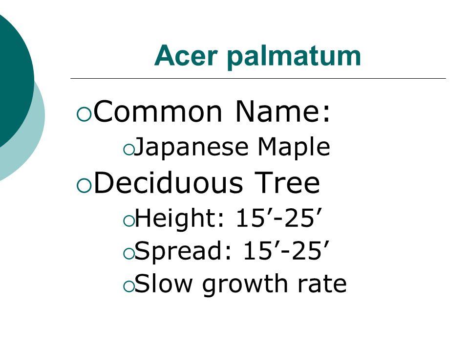 Common Name: Deciduous Tree Acer palmatum Japanese Maple