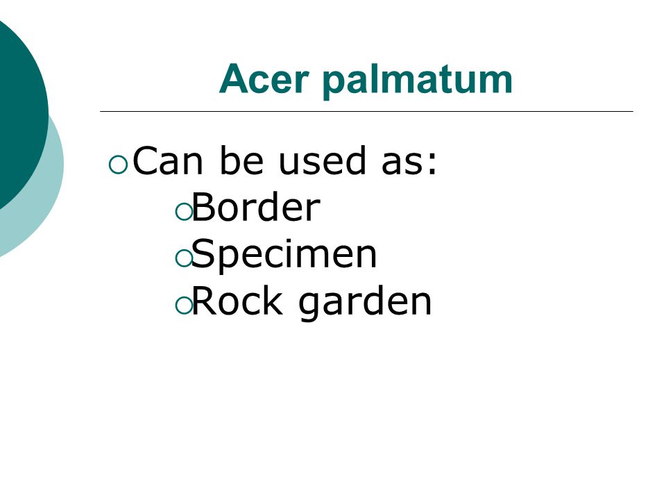 Acer palmatum Can be used as: Border Specimen Rock garden