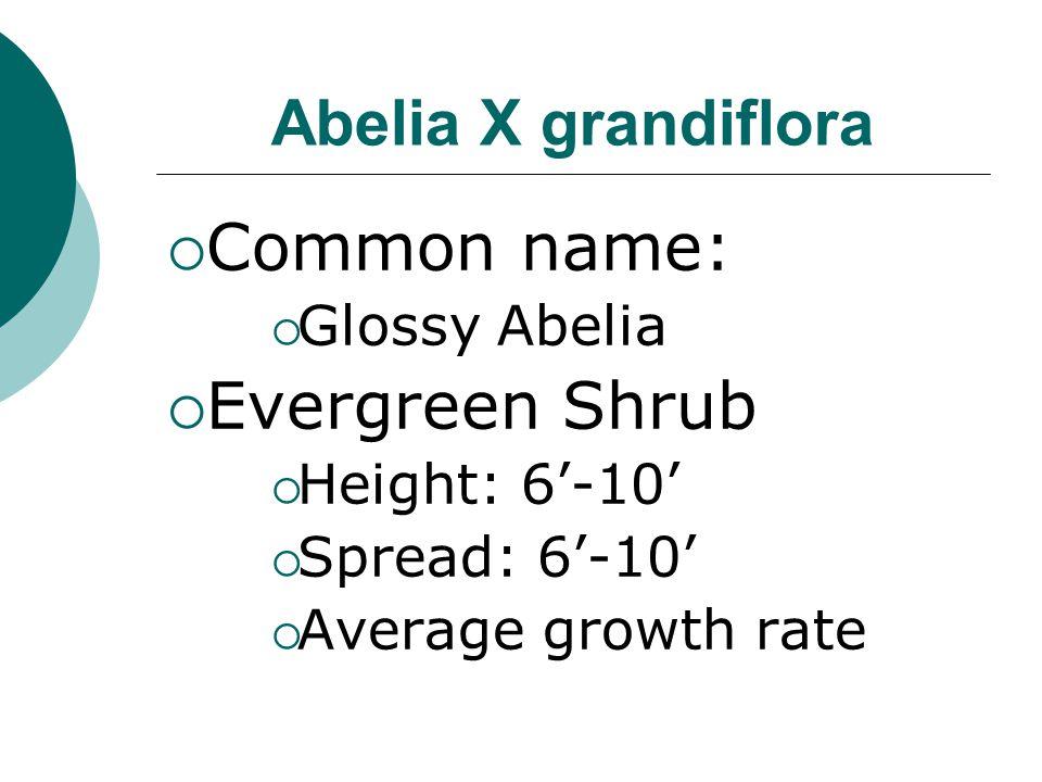 Common name: Evergreen Shrub Abelia X grandiflora Glossy Abelia