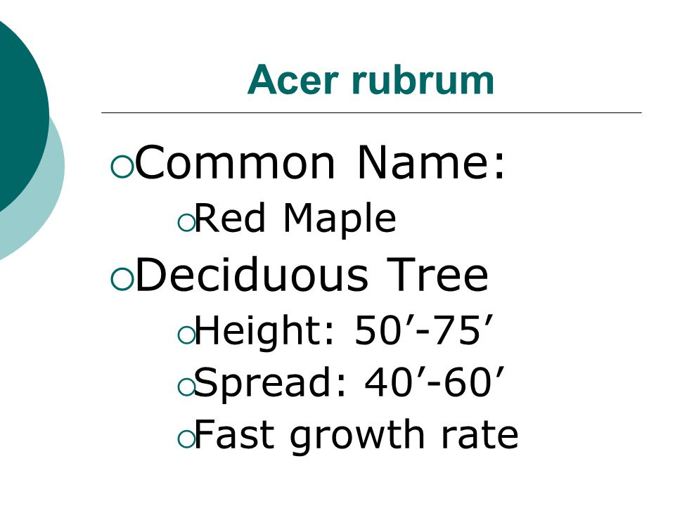 Common Name: Deciduous Tree Acer rubrum Red Maple Height: 50'-75'