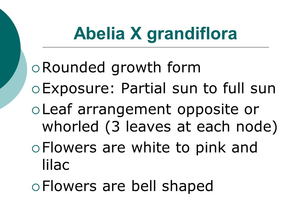 Abelia X grandiflora Rounded growth form