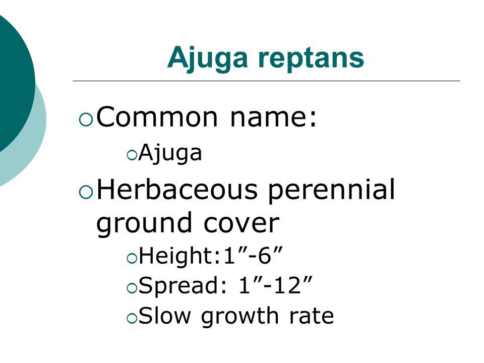 Ajuga reptans Common name: Herbaceous perennial ground cover Ajuga