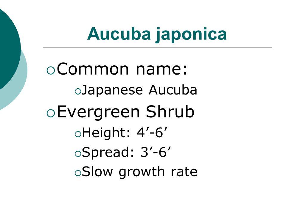 Aucuba japonica Common name: Evergreen Shrub Japanese Aucuba
