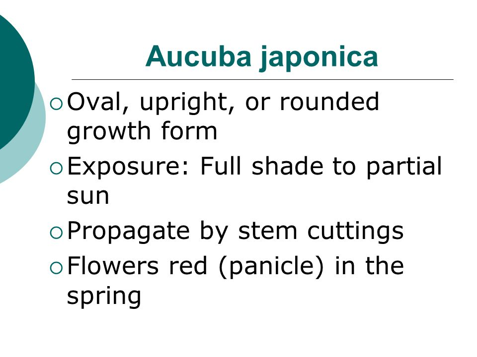 Aucuba japonica Oval, upright, or rounded growth form