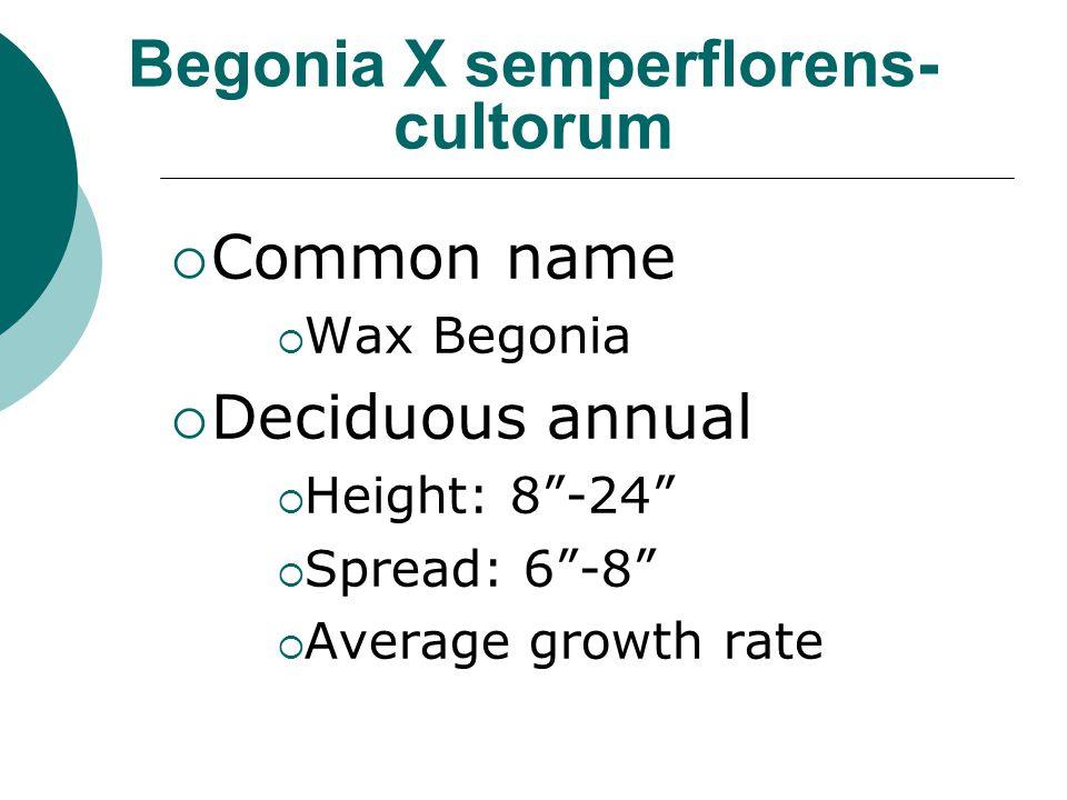Begonia X semperflorens-cultorum
