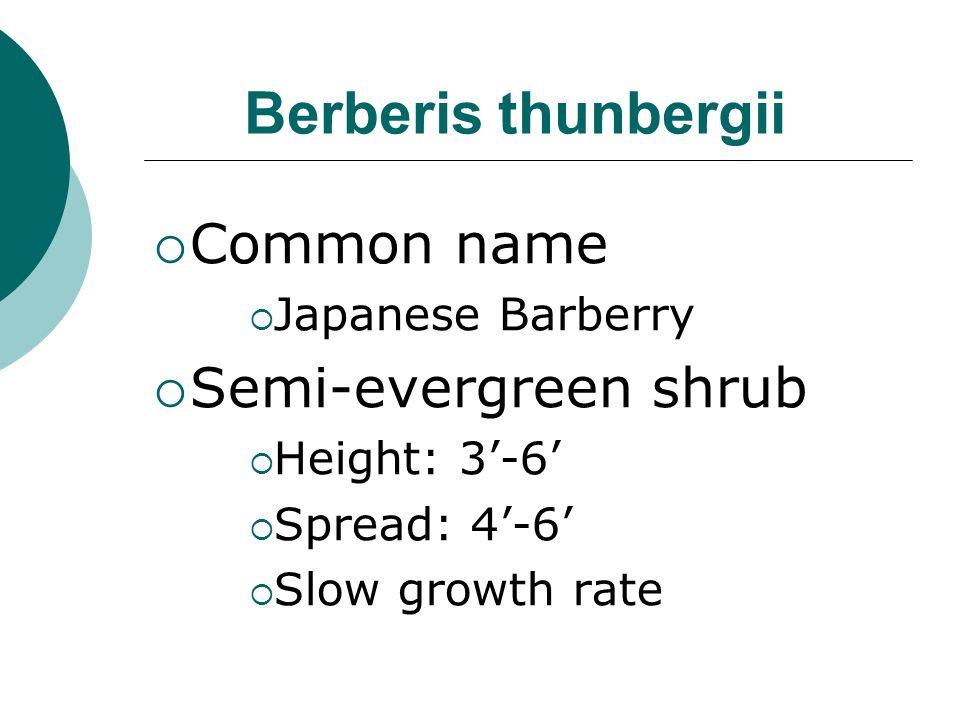 Berberis thunbergii Common name Semi-evergreen shrub Japanese Barberry