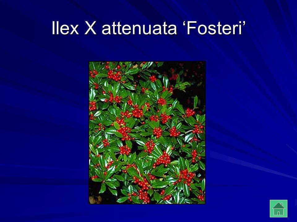 Ilex X attenuata 'Fosteri'