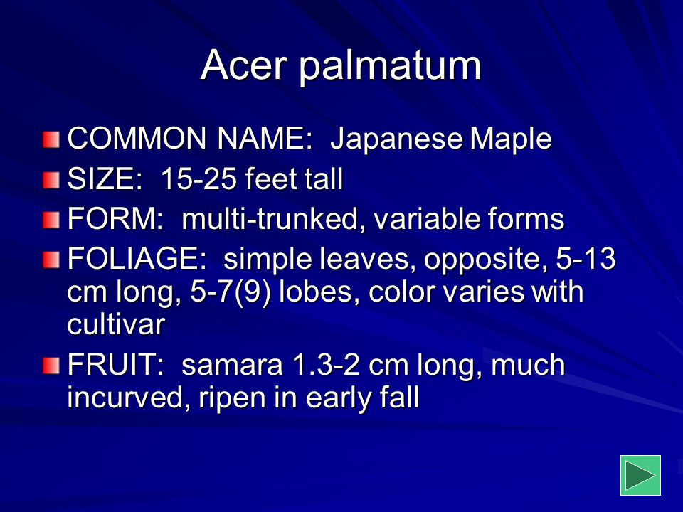 Acer palmatum COMMON NAME: Japanese Maple SIZE: 15-25 feet tall