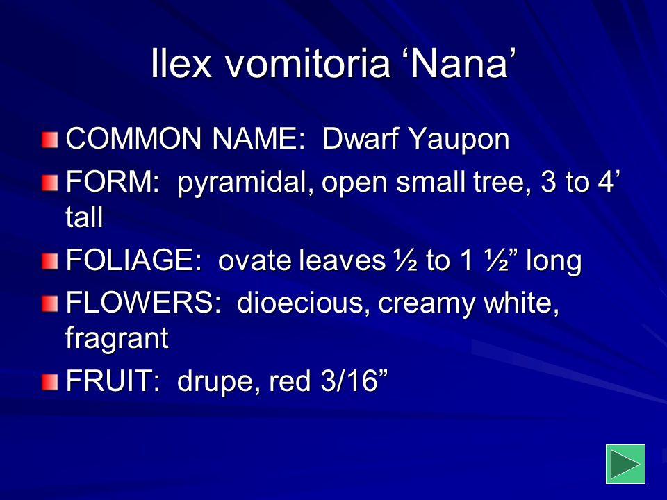 Ilex vomitoria 'Nana' COMMON NAME: Dwarf Yaupon
