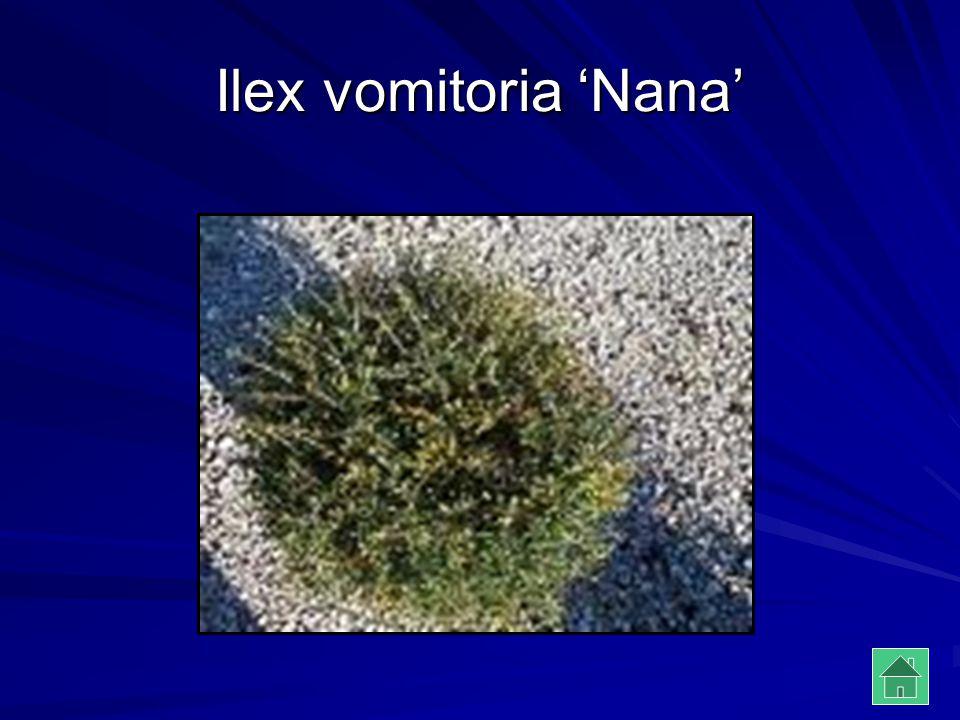 Ilex vomitoria 'Nana'