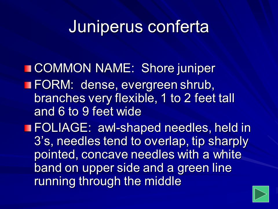 Juniperus conferta COMMON NAME: Shore juniper