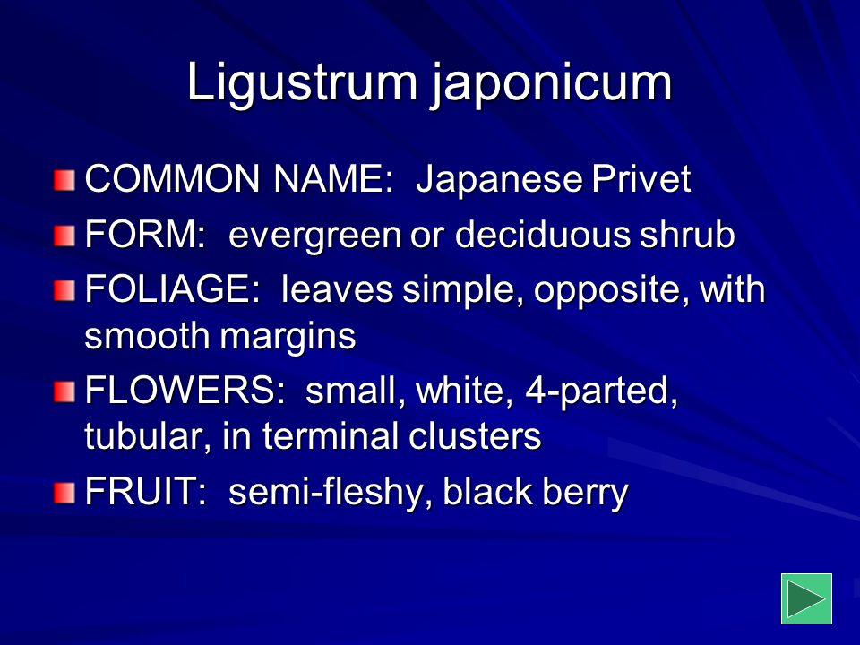 Ligustrum japonicum COMMON NAME: Japanese Privet