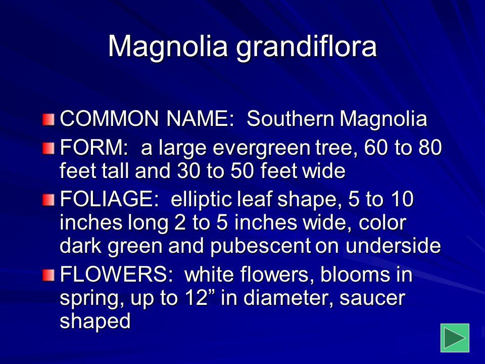 Magnolia grandiflora COMMON NAME: Southern Magnolia