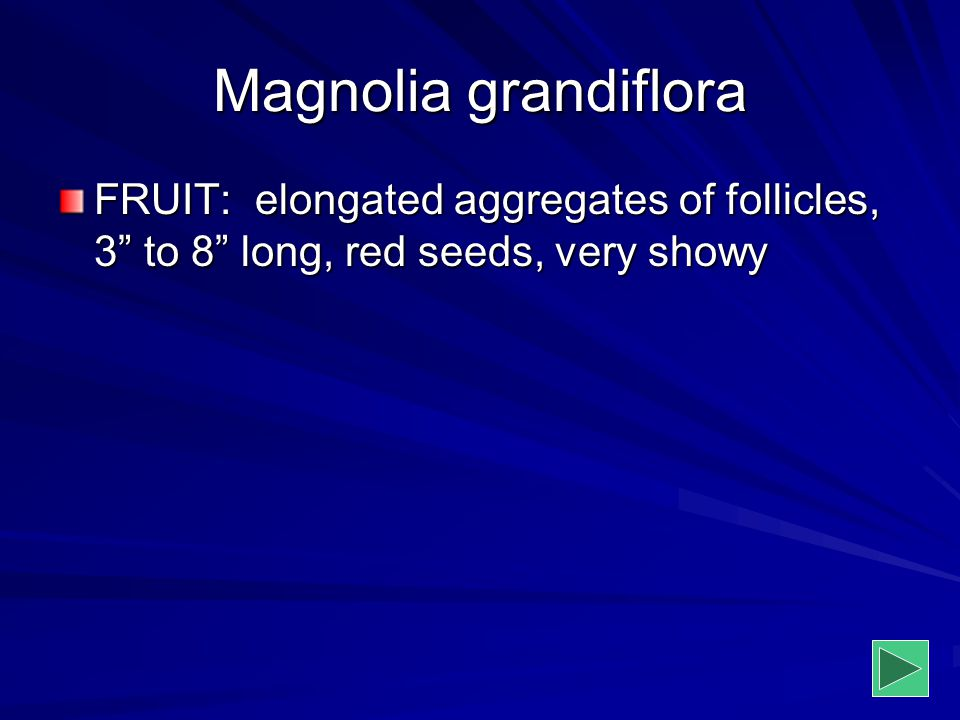 Magnolia grandiflora FRUIT: elongated aggregates of follicles, 3 to 8 long, red seeds, very showy.