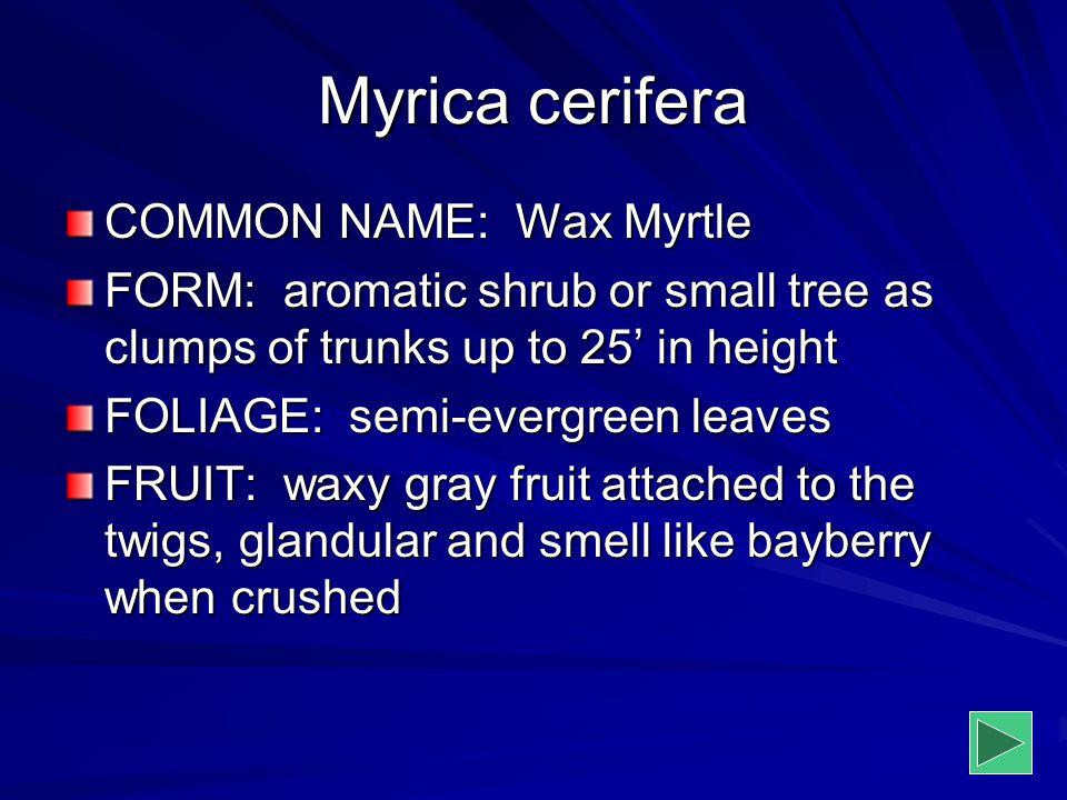Myrica cerifera COMMON NAME: Wax Myrtle