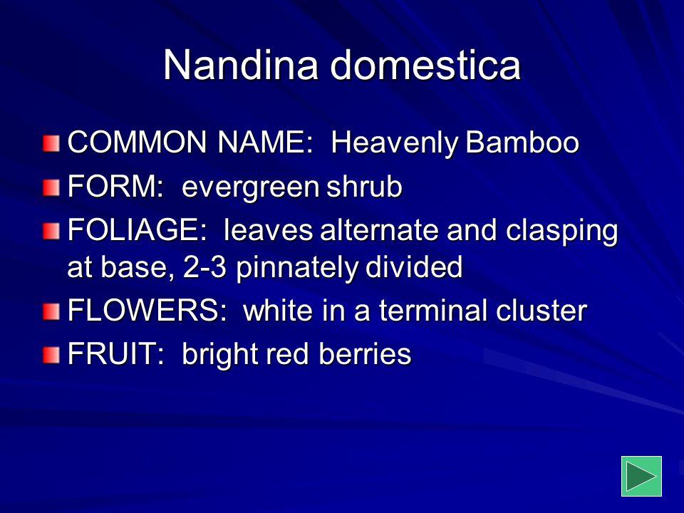 Nandina domestica COMMON NAME: Heavenly Bamboo FORM: evergreen shrub
