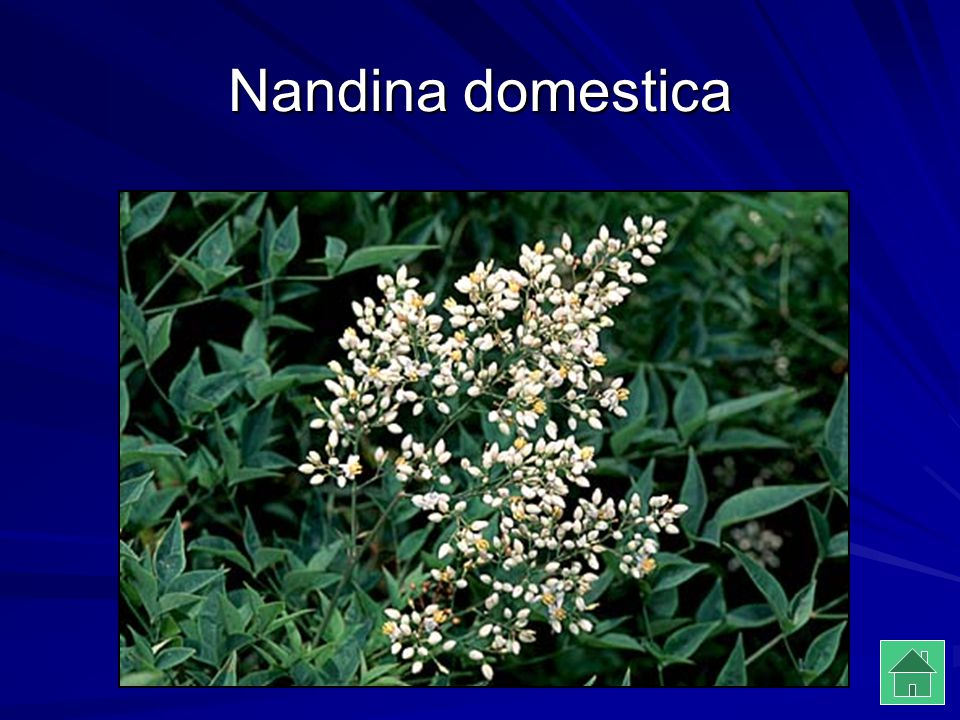 Nandina domestica