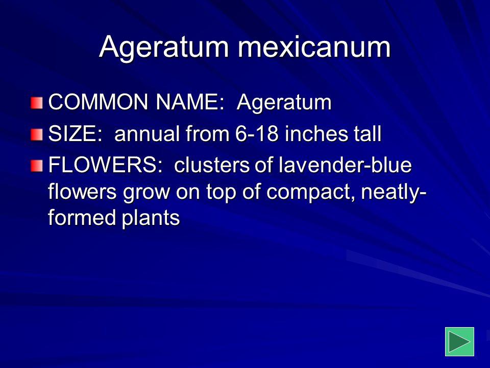 Ageratum mexicanum COMMON NAME: Ageratum