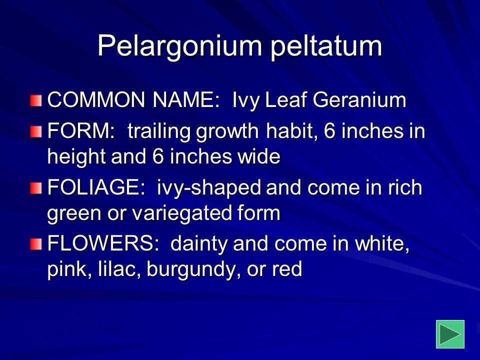 Pelargonium peltatum COMMON NAME: Ivy Leaf Geranium