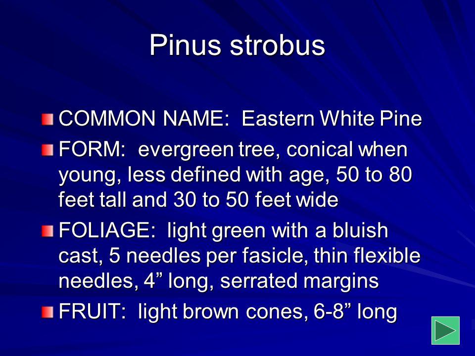 Pinus strobus COMMON NAME: Eastern White Pine