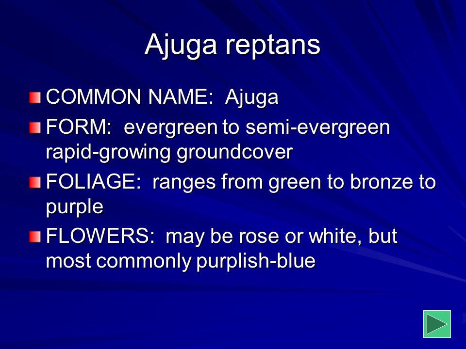 Ajuga reptans COMMON NAME: Ajuga