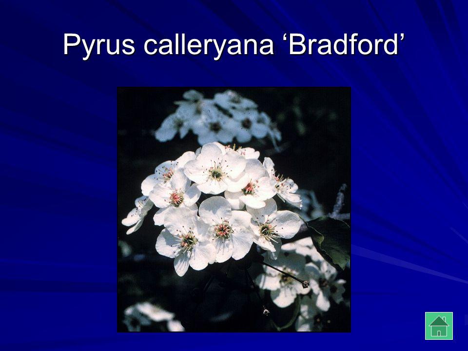 Pyrus calleryana 'Bradford'