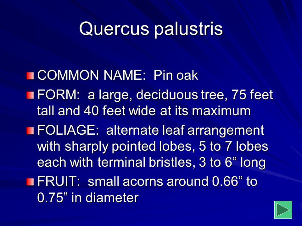 Quercus palustris COMMON NAME: Pin oak
