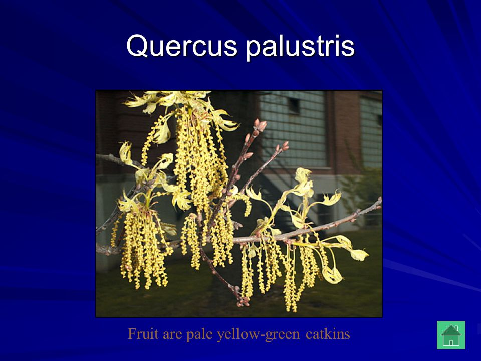 Fruit are pale yellow-green catkins