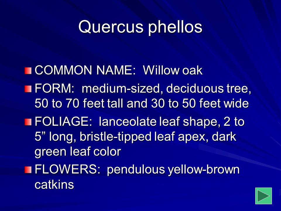 Quercus phellos COMMON NAME: Willow oak