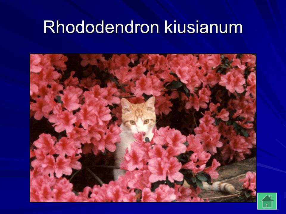 Rhododendron kiusianum