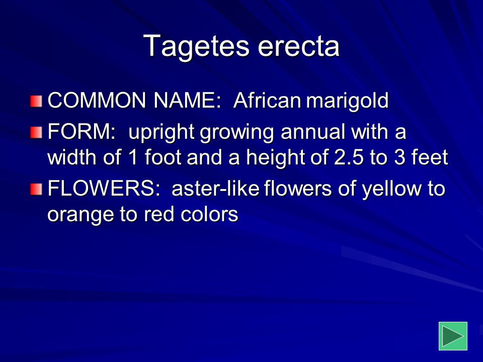 Tagetes erecta COMMON NAME: African marigold