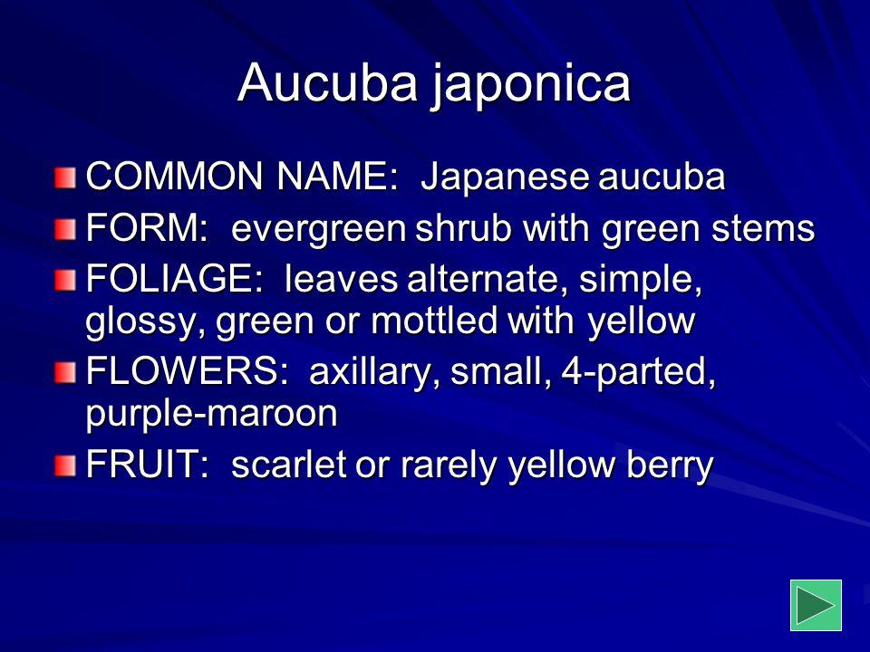 Aucuba japonica COMMON NAME: Japanese aucuba