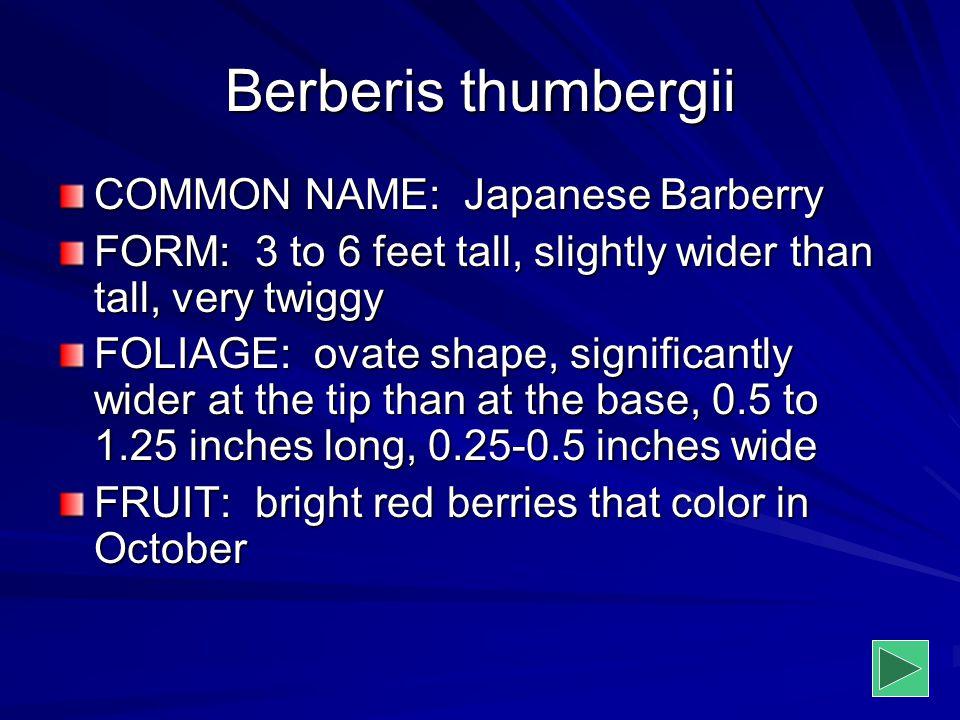 Berberis thumbergii COMMON NAME: Japanese Barberry