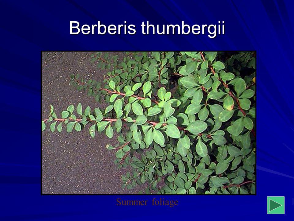 Berberis thumbergii Summer foliage