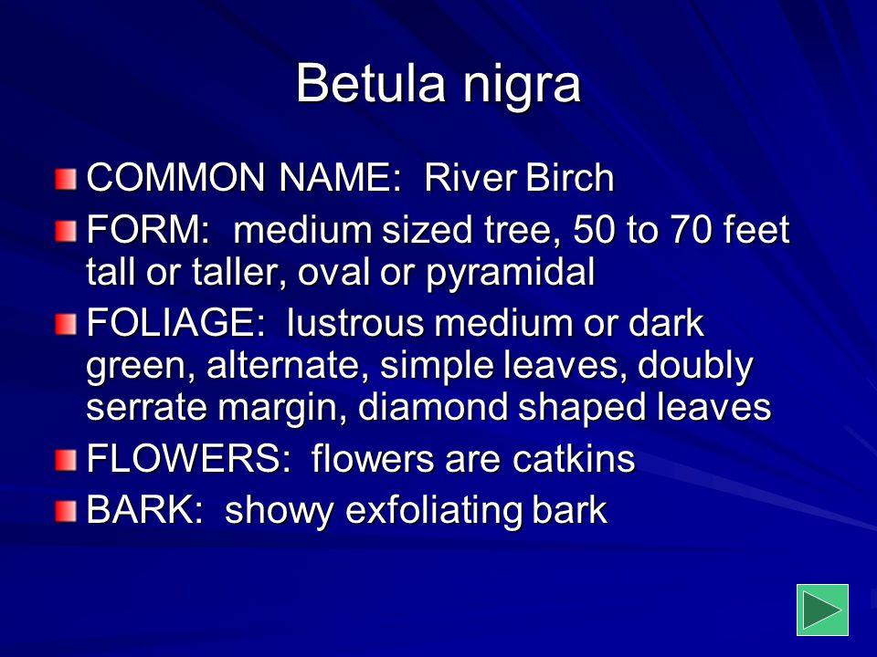 Betula nigra COMMON NAME: River Birch