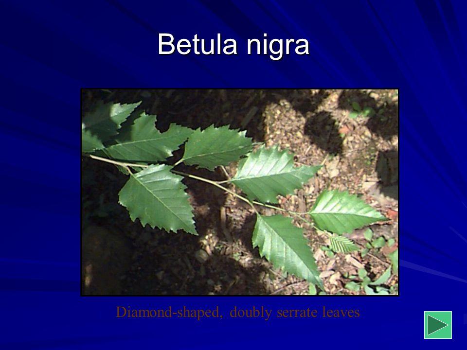 Diamond-shaped, doubly serrate leaves