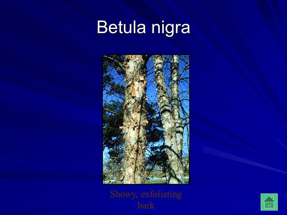 Showy, exfoliating bark