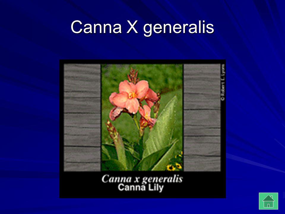 Canna X generalis