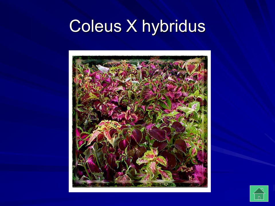 Coleus X hybridus