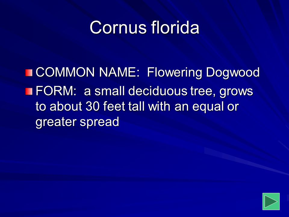 Cornus florida COMMON NAME: Flowering Dogwood