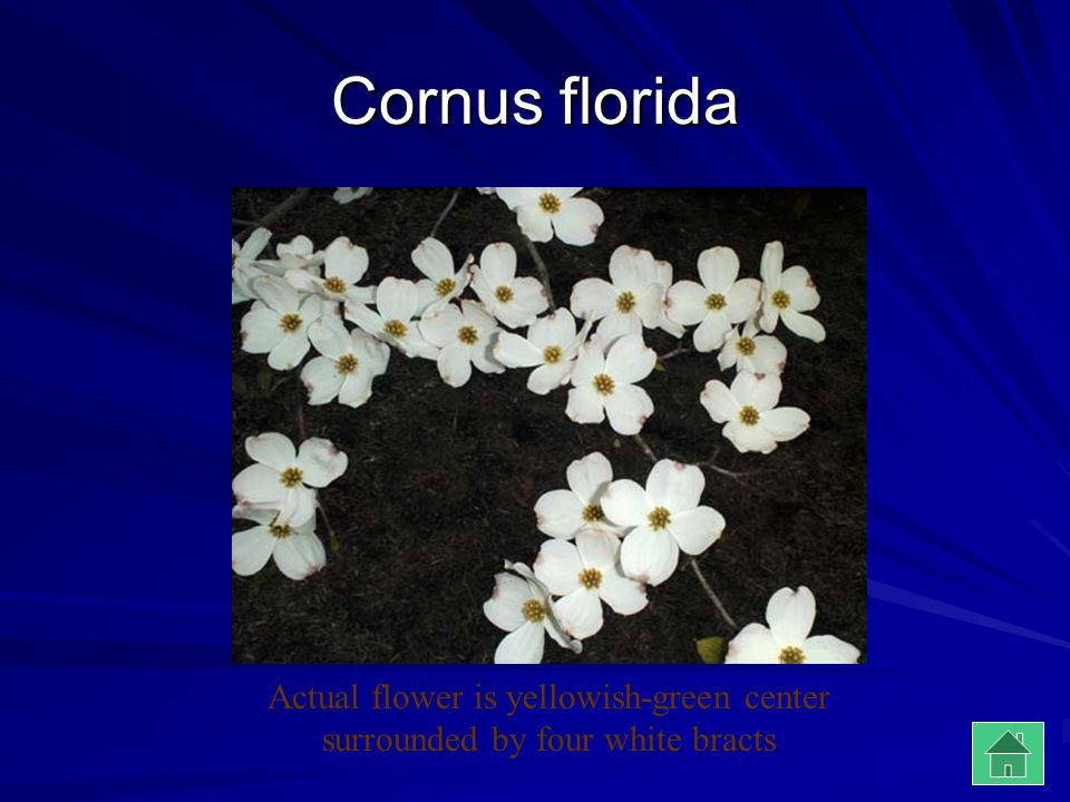 Cornus florida Actual flower is yellowish-green center surrounded by four white bracts